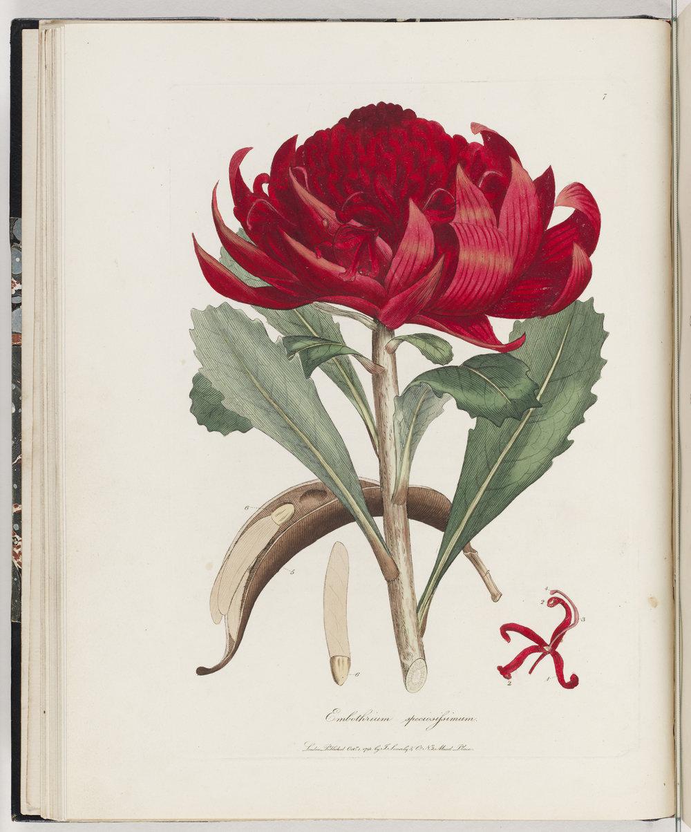 Embothrium speciosissimum, 1793,James Sowerby (1757–1822)