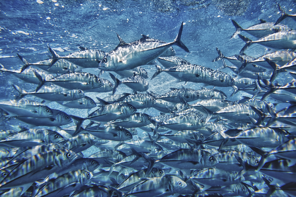 A school of tuna swims through the ocean. Many ocean activists say that tuna should be on the Endangered Species List. Others urge that tuna should be limited or removed from one's diet, largely due to its high mercury content.