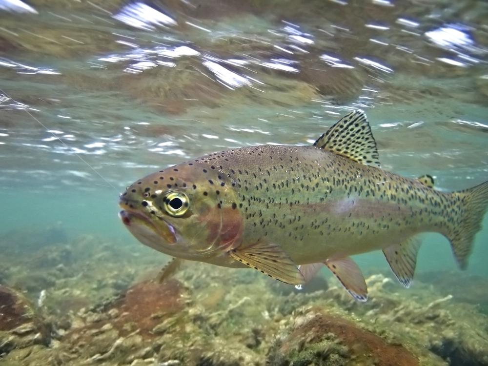 Rainbow trout (U.S. farmed)