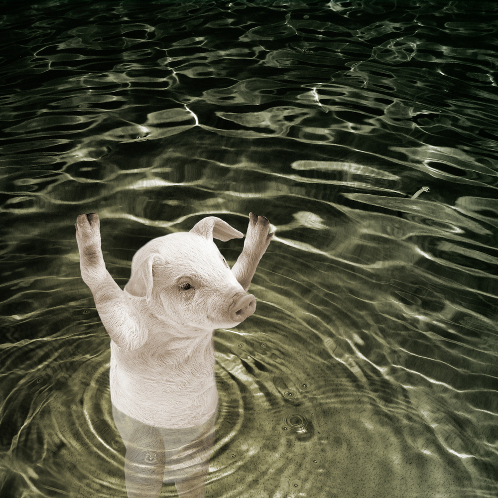 When Pigs Swim