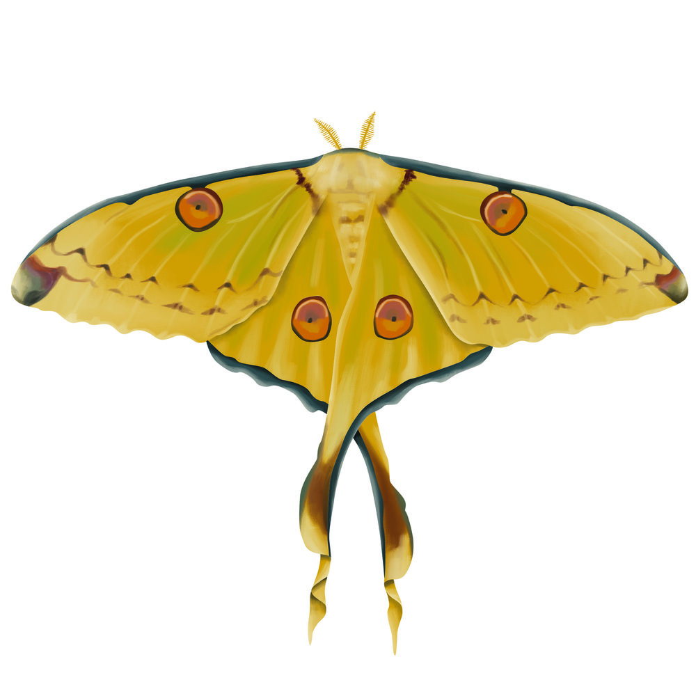coral Moth_white background.jpg