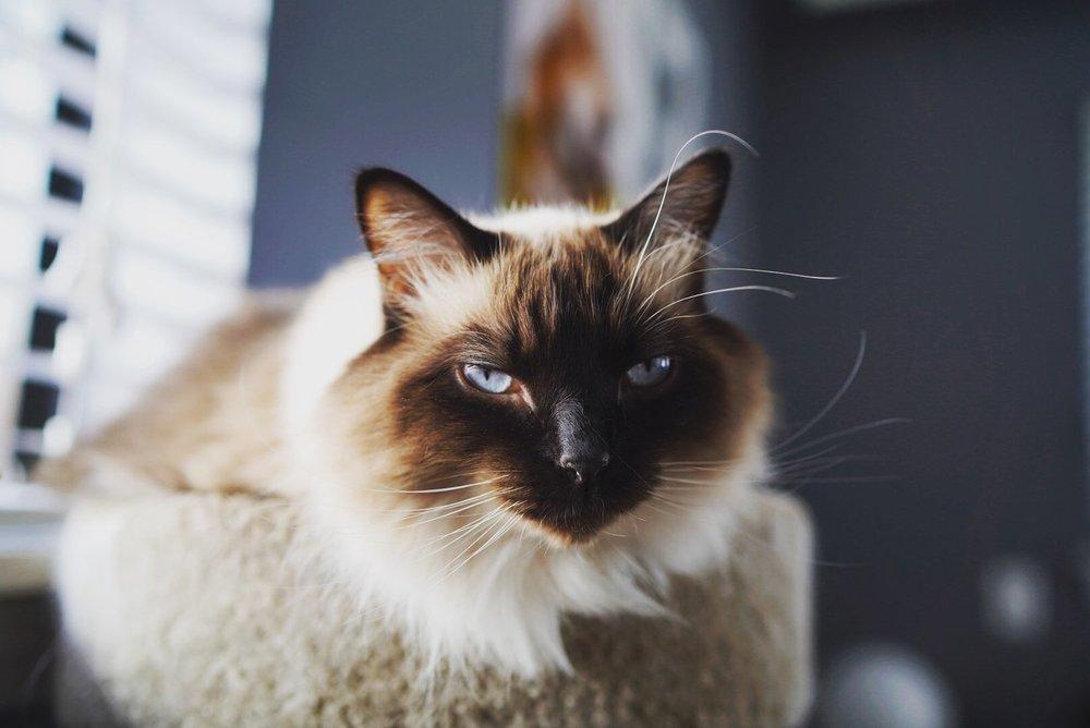 Calvin - He's always judging. (Cat)
