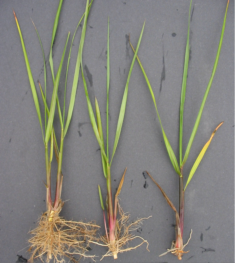 Spartina Seedlings from Vanessa Howard Morgan