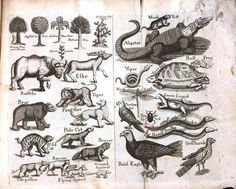 Buffalo, Elk, and Tigers (confirmed to actually be jaguars)... some of the Animals that once inhabited North Carolina's Prairie's according to John Brickell's 1737 Natural History of North Carolina