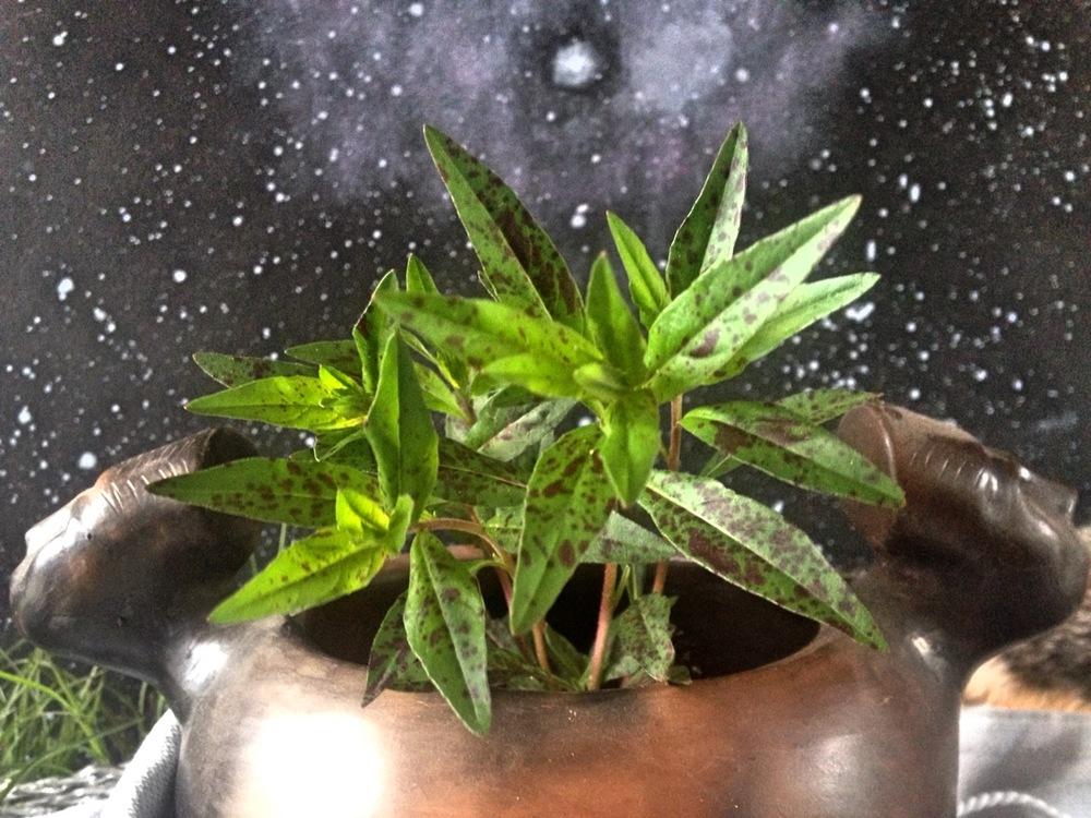 Oenothera fruticosa- Sundrops