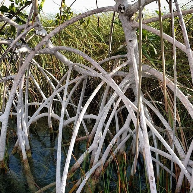 Rhizophora mangle, Red Mangrove. image by Nicole Lenzen.