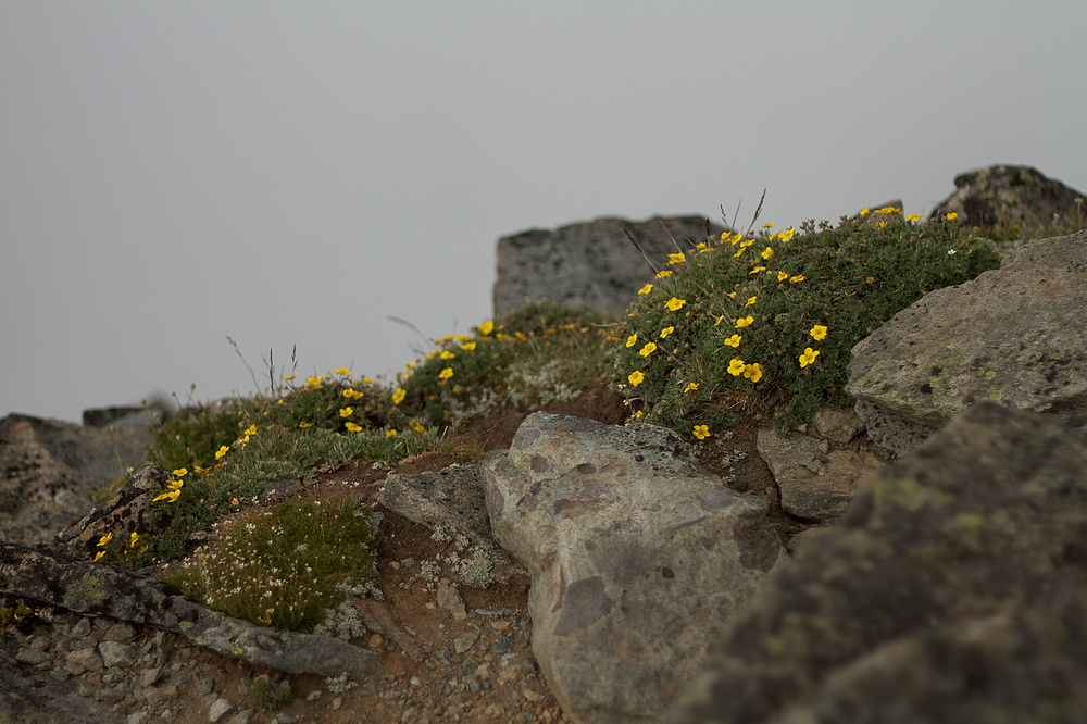 Shrubby_Cinquefoil_on_Mount_Fremont.jpg