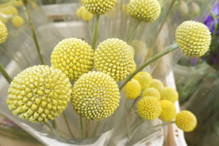 Yellow-pompoms