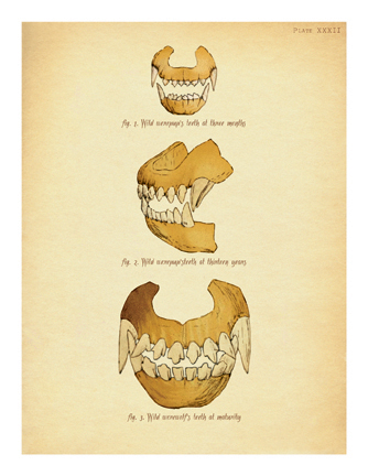 """Werewolf Teeth (Diagram)"""