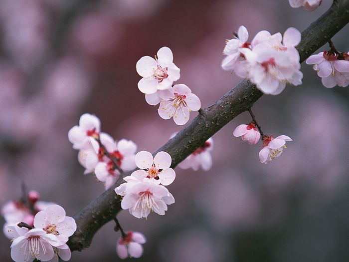 Japanese_Cherry_Blossom_wallpapers_Vol_121_EZ175.jpg