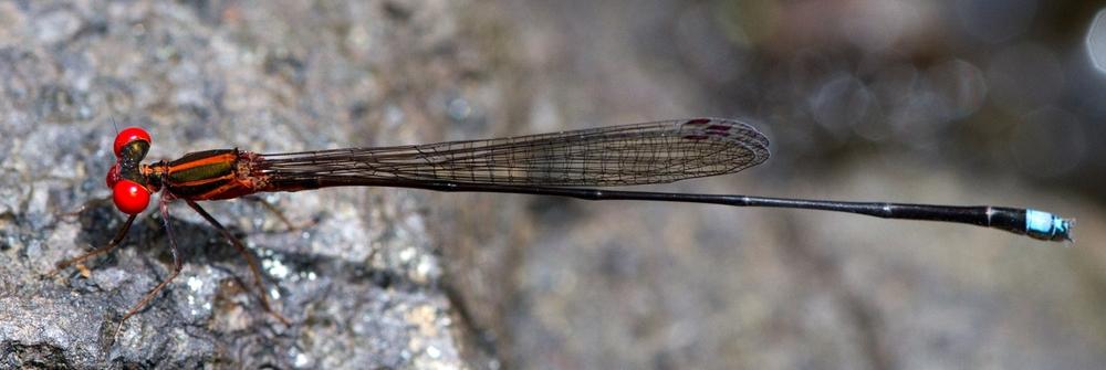 D11-5007 Nesobasis erythtops PN Abaca Fiji Viti Levu.jpg