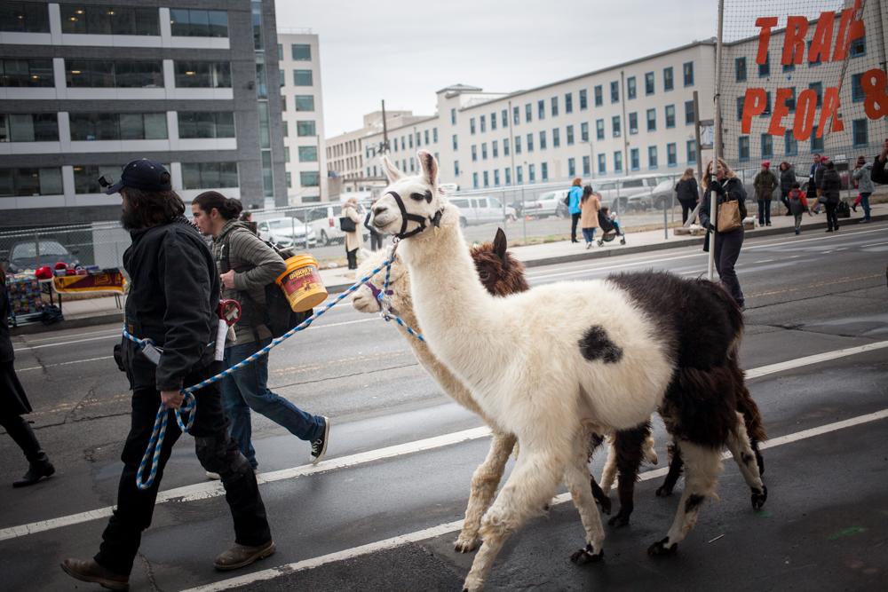 Fair trade Llamas.