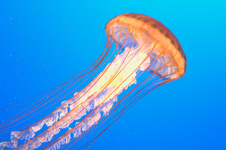 file_SODC_pacific_sea_nettle_web.jpg