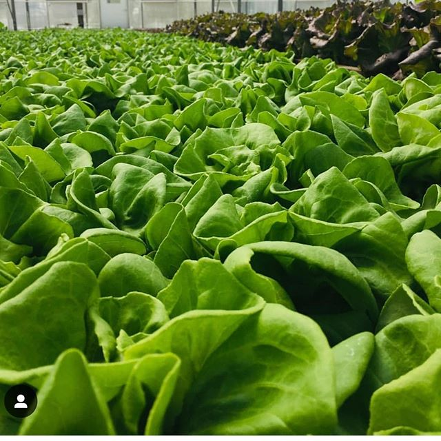 #sustainability #tucson #eatlocal #lettuce #salad #azgrown #localeats repost @cindy2river