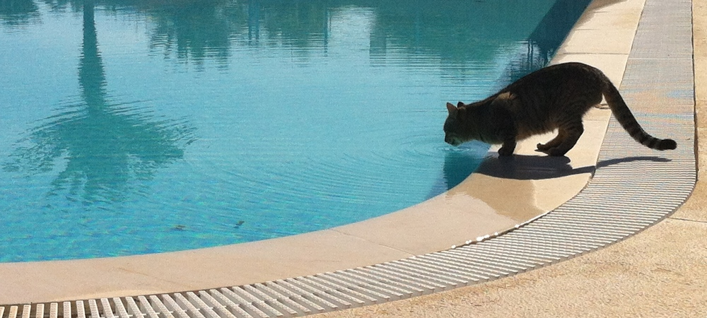 Cat drinking from the swimming pool