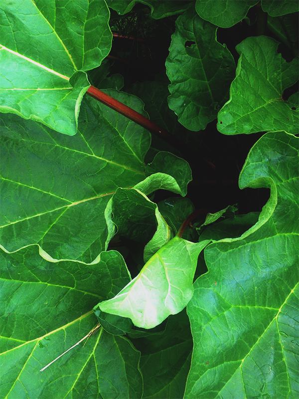 rhubarbplant