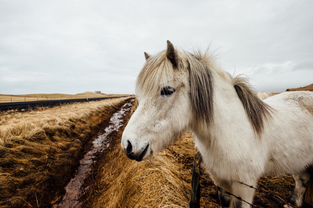 After Dyrhólaey, we headed to do a quick day trip around the Golden Circle. One our drive we were greeted by another pony looking for pets and food at the roadside.