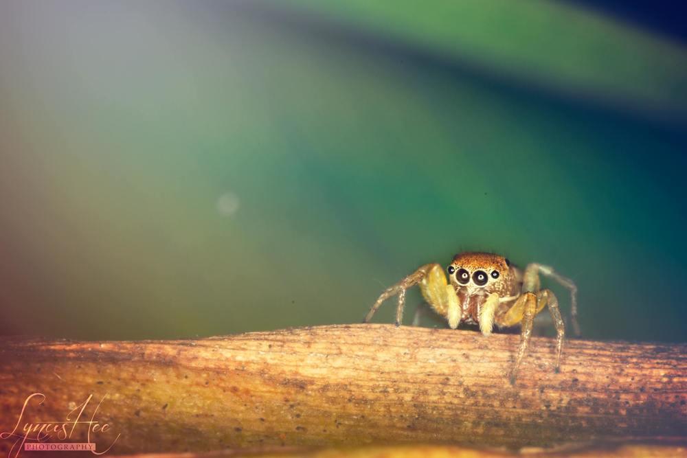 4eye spider.jpg