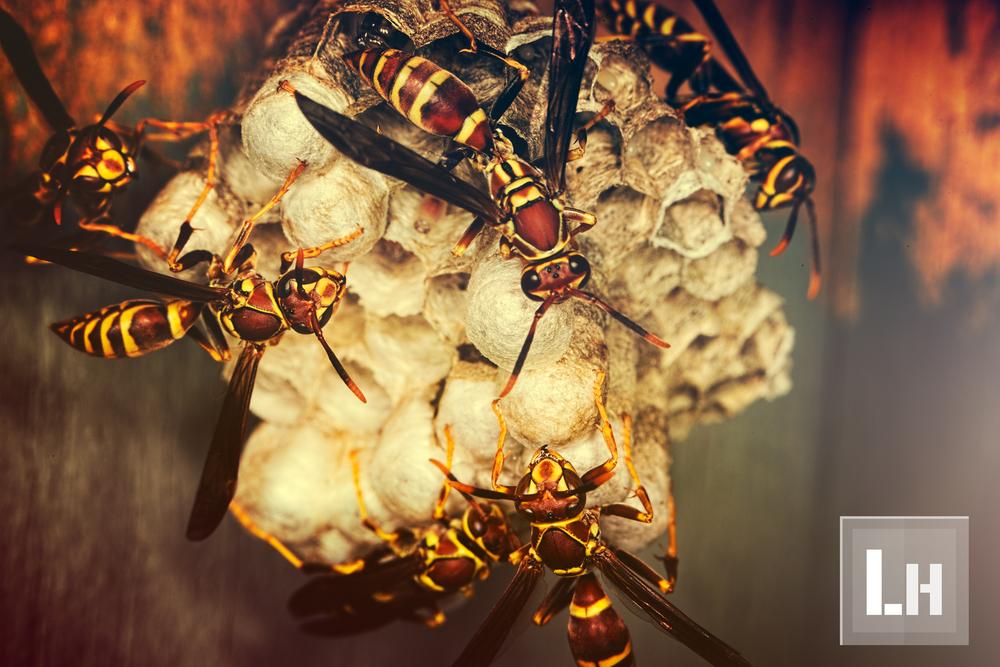 Wasps' Hive