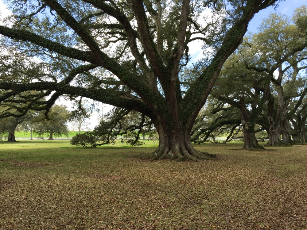 Virginia live oak