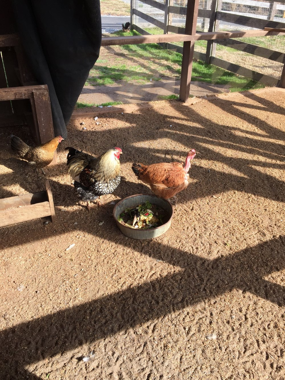 Meet some chickens and other animals at the petting farm.