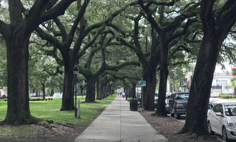 Oaks draped with Spanish moss line the sidewalk along Bay Street.  (click to enlarge)
