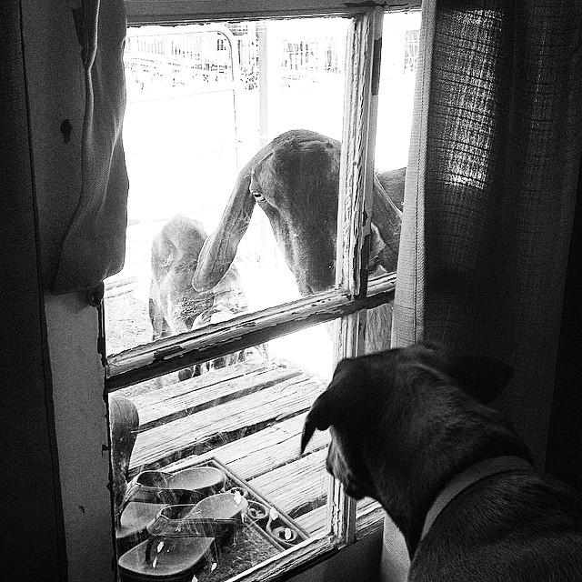 """Whatup dog?"" Said the goat.  #staringcompetition #dog vs #goat #donteatmyslippahs @olukai #brewerthedog"