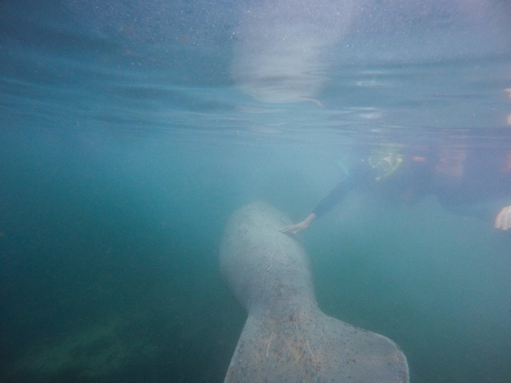 swimming with manatees | Alexandria Whitefeather
