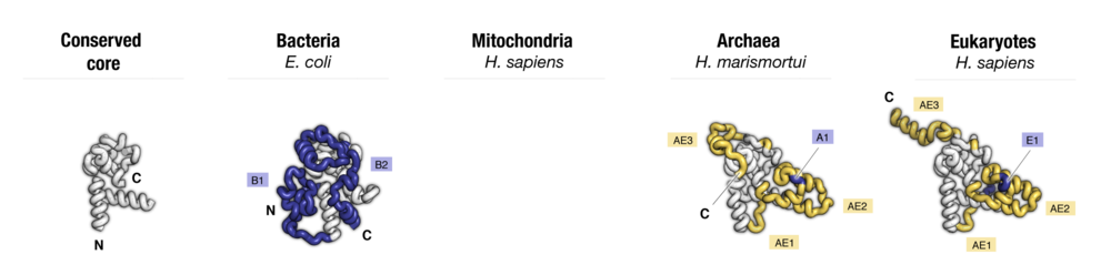Side-by-side comparison of protein uS4 from four major taxonomic groups of organisms. Labels point to protein segments that are found only in a subset of species.