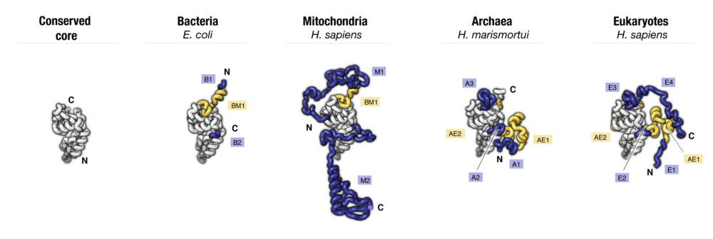 Side-by-side comparison of protein uS5 from four major taxonomic groups of organisms. Labels point to protein segments that are found only in a subset of species.