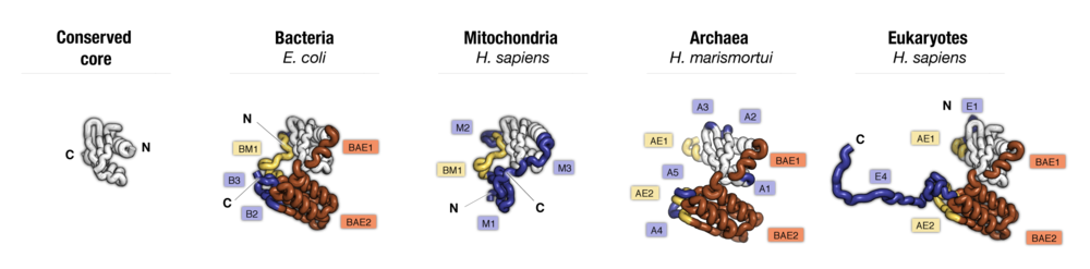 Side-by-side comparison of protein uS3 from four major taxonomic groups of organisms. Labels point to protein segments that are found only in a subset of species.