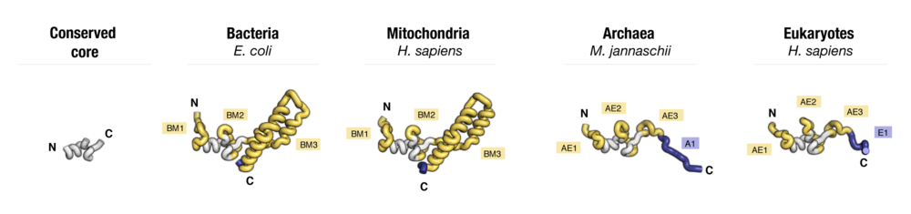 Side-by-side comparison of protein  uS14  from four major taxonomic groups of organisms. Labels point to protein segments that are found only in a subset of species.