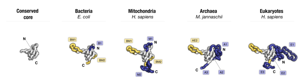 Side-by-side comparison of protein uS17 from major taxonomic groups of organisms. Labels point to protein segments that are found only in a subset of species.