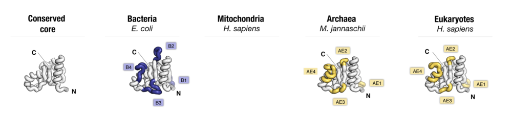Side-by-side comparison of protein uS8 from major taxonomic groups of organisms. Labels point to protein segments that are found only in a subset of species.
