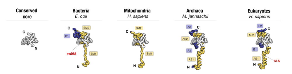 Side-by-side comparison of protein uS12 from major taxonomic groups of organisms. Labels point to protein segments that are found only in a subset of species.