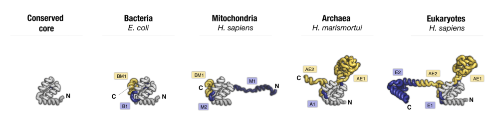 Side-by-side comparison of protein uL10 from major taxonomic groups of organisms. Labels point to protein segments that are found only in a subset of species.