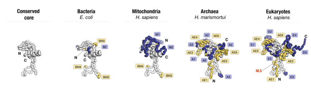 Side-by-side comparison of protein uL3 from major taxonomic groups of organisms. Labels point to protein segments that are found only in a subset of species.