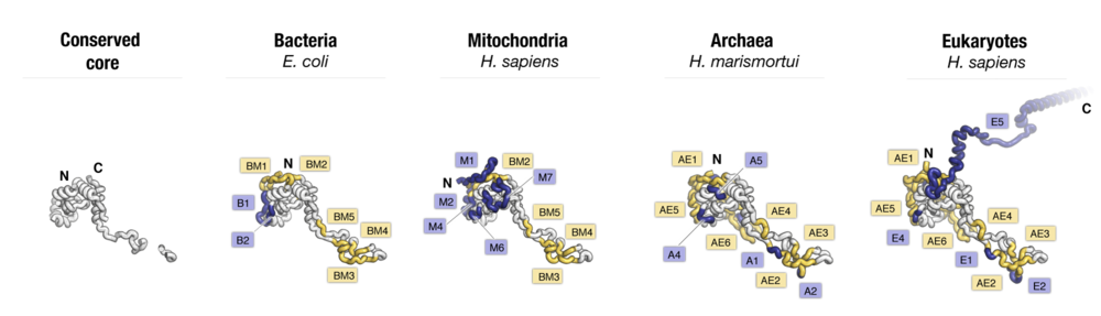 Side-by-side comparison of protein uL4 from major taxonomic groups of living species. Labels point to protein segments that are found only in a subset of species.