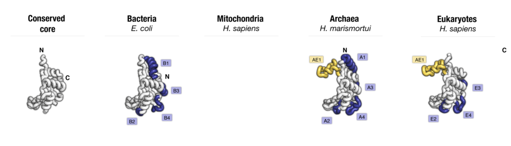 Side-by-side comparison of protein uL5 from four major taxonomic groups of organisms. Labels point to protein segments that are found only in a subset of species.