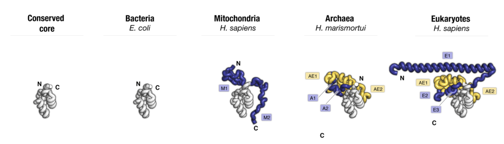 Side-by-side comparison of protein uL15 from four major taxonomic groups of organisms. Labels point to protein segments that are found only in a subset of species.