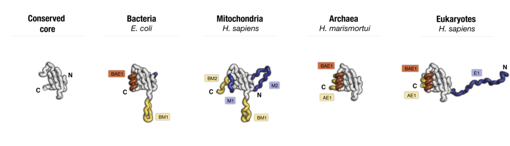Side-by-side comparison of protein uL23 from major taxonomic groups of living species. Labels point to taxa-specific protein segments.