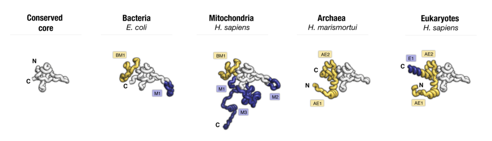 Side-by-side comparison of protein uL24 from major taxonomic groups of living species. Labels point to taxa-specific protein segments.