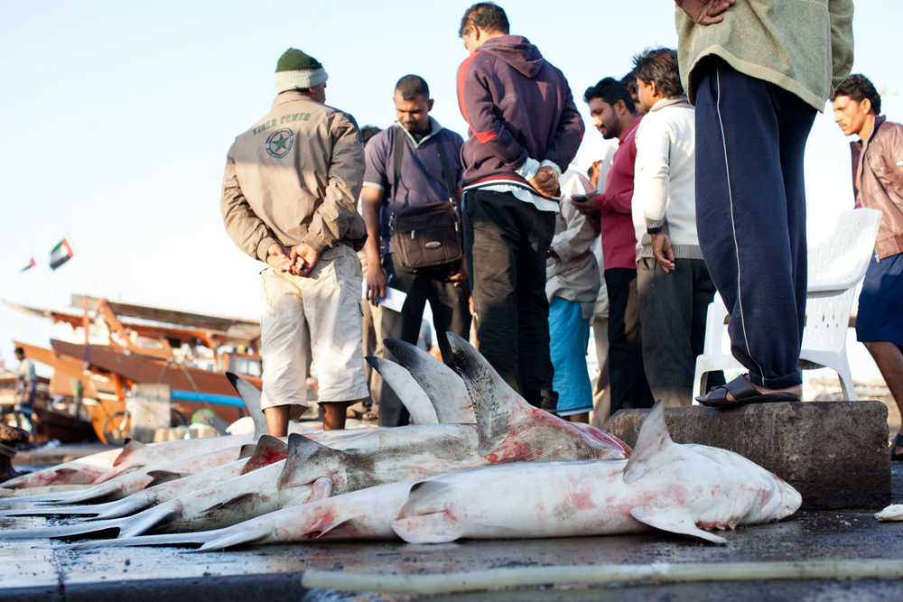 shark-fisherman-abu-dhabi-009.jpg