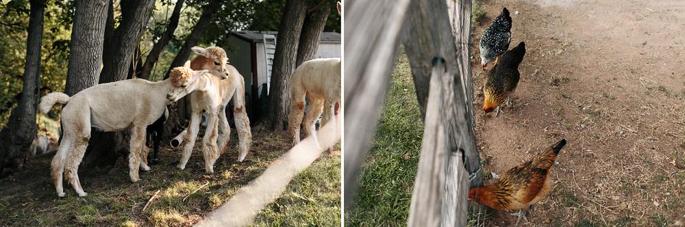 Lyons-Farmette-Llamas-Chickens.jpg