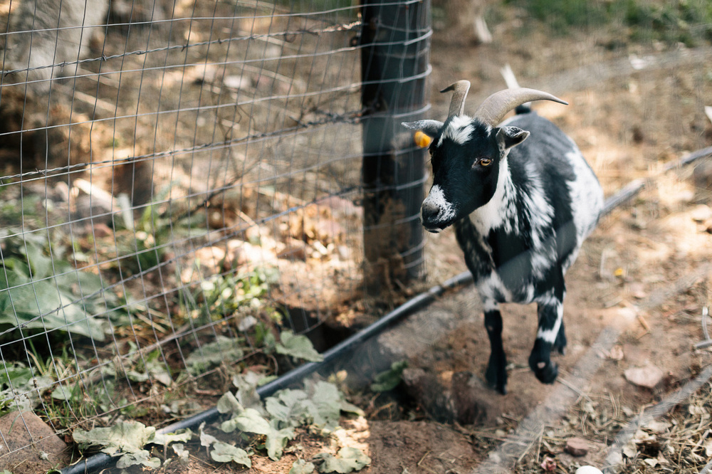 Lyons-Farmette-Goat.jpg