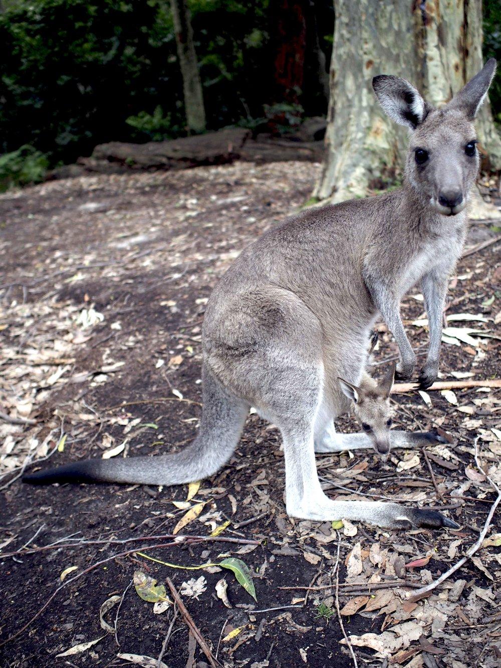 Kangaroo for Glammies.jpg