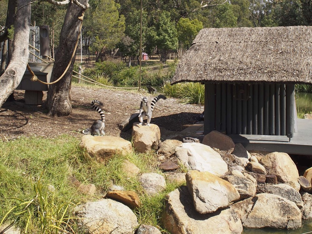 Ring Tailed Lemur… so cuuuuute!! at the Dubbo Zoo