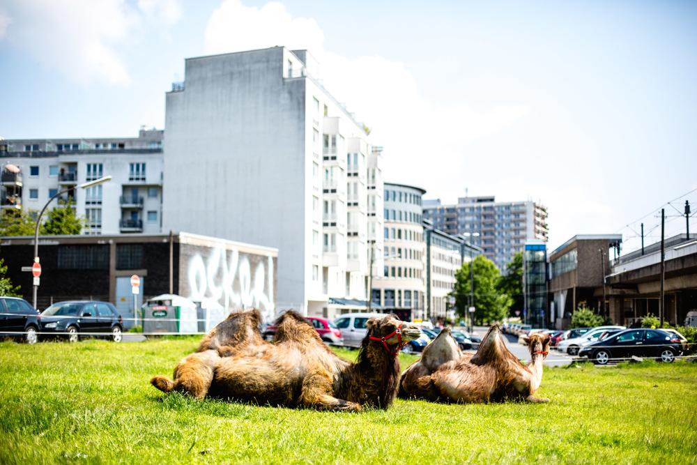 Cologne Koln 2014 (11) Camels.jpg