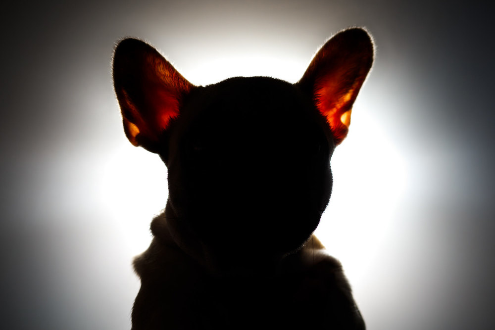 ...but this one worked out. The ears of a French Bulldog are quite prominent, so I thought a straight-on silhouette could be striking. What I didn't expect was the light to shine through her ears - a happy accident!