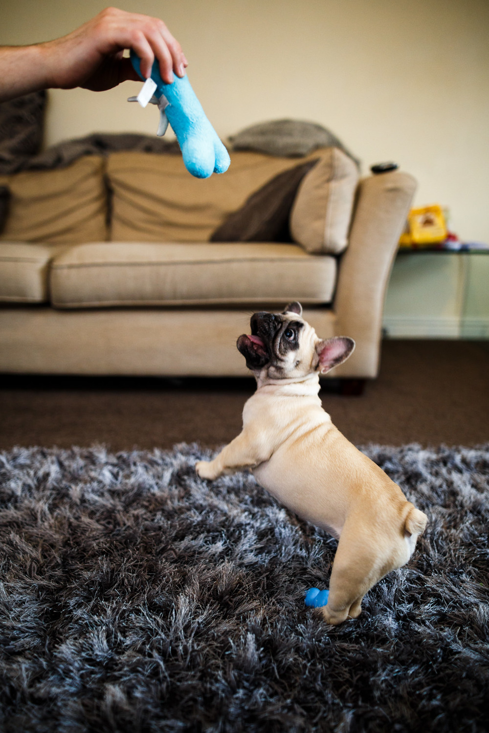 Andrew Wilson Photography Beau French Bulldog